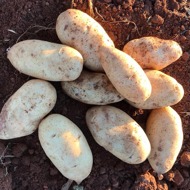 Comprar patatas Spunta