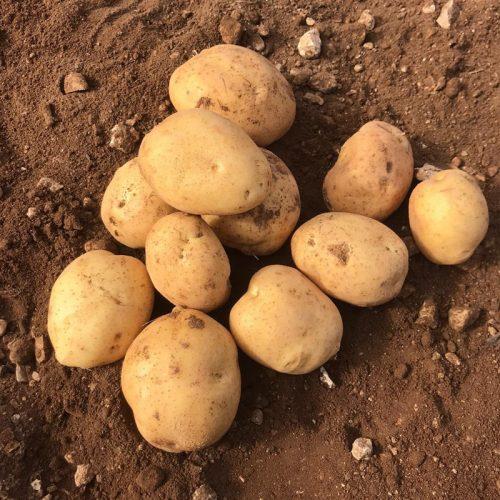 Comprar patatas Sylvana